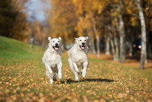 Two Happy Golden Retriever Dogs Running Outdoors In Autumn
