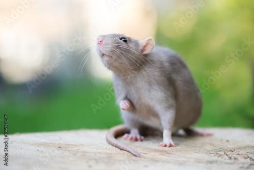 adorable grey pet rat posing outdoors