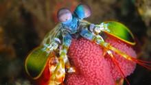 Peacock Mantis Shrimp Breed Eggs