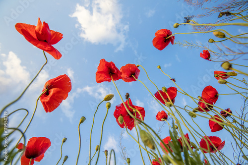 red poppies turning to the sky - Buy this stock photo and explore