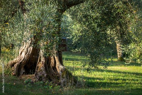 Papiers peints Oliviers Le large tronc d'un olivier dans un champs