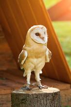 Barn Owl - In Latin Tyto Alba -sitting On A Tree Stump. Barn Owl Portrait.