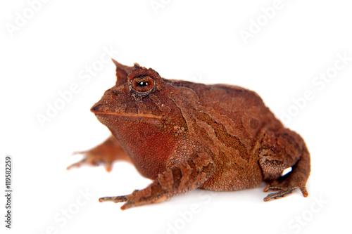 Fotografie, Obraz  Cerrado toad on white