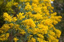 Yellow Acacia Howittii