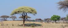 Umbrella Thorn Acacia (Vachellia Tortilis, Previously Acacia Tortilis) Showing Bark Stripped Off By Elephants. Ruaha National Park. Tanzania