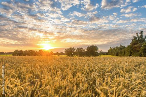 Fotomural Campo de maíz en la puesta de sol