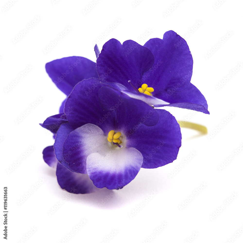 Fototapety, obrazy: dark blue and white african violet
