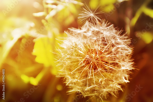Poster Paardenbloem Dandelion close up on natural background. Summer field at sunset