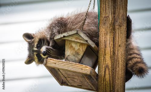 Fotografie, Obraz Raccoon (Procyon lotor) on a bird feeder, eastern Ontario