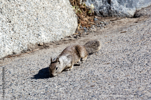 Fotografie, Obraz  Californian ground squirrel