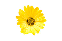 Yellow Osteospermum Flower Dai...