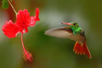 FototapetaBird from Ecuador. Rufous-tailed Hummingbird, Amazilia tzacatl, bird fling next to beautiful red rose hibiscus flower in neture habitat, green background, bird from mountain tropical forest, Colombia