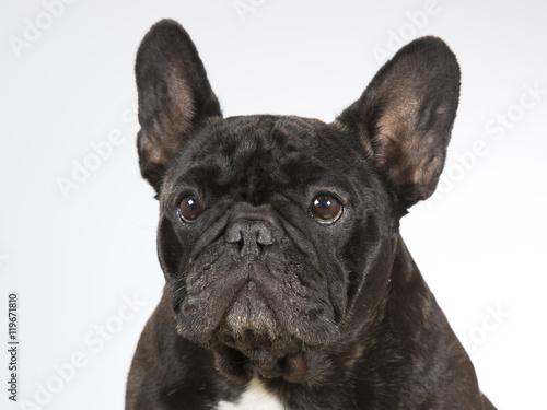 Tuinposter Franse bulldog French bulldog portrait. Image taken in a studio.