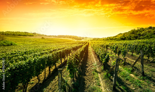Beautiful sunset over vineyard
