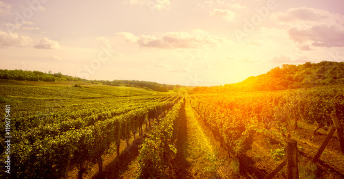 Photo sur Aluminium Vignoble Vineyard