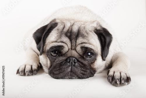 Door stickers Dog close up van liggende hond, mopshond, met kop op vloer