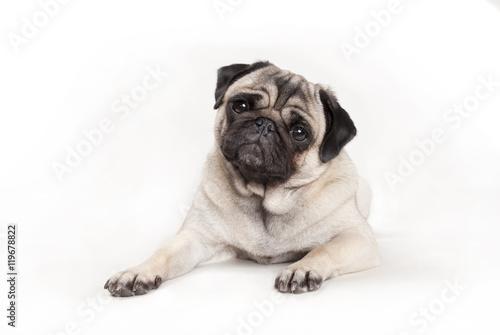Poster Dog schattig liggend mopshondje