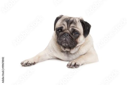 Poster Dog schattig mopshondje ligt en kijkt verdrietig, geisoleerd op witte achtergrond