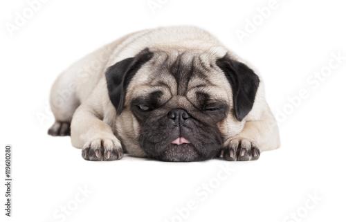 Poster Dog close-up van schattige hond, mopshond, die languit op vloer ligt en tong uitsteekt geisloeerd op witte achtergrond