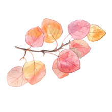 Watercolor Painting Of A Bright Autumn Branch Of Aspen Tree. Isolated On White Background