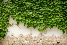 Green Ivy Plant On White Wall