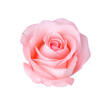 canvas print picture - Pink rose isolated on white background, soft focus.