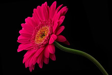 Pink Or Red Gerbera With Stem ...