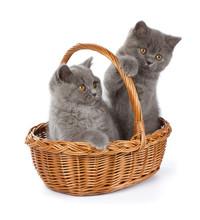 Pretty British Shorthair Blue Kitten In The Basket
