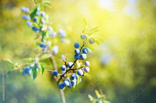 Photo  Sloe berries, growing on a bush