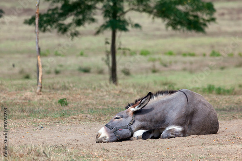 Photo  Donkey lies on the meadow