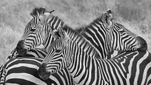 Foto auf AluDibond Zebra Three zebra on lookout in black and white. Taken in Tanzania.