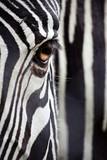 Fototapeta Zwierzęta - Zebra