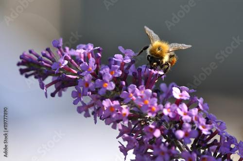 Fotografie, Obraz  Abeille sur fleur de Buddleia