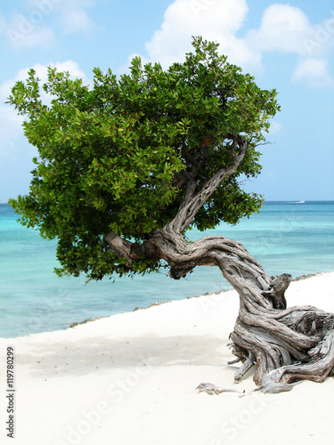 Photo  Divi Divi Tree with Gentle Waves on the Beach
