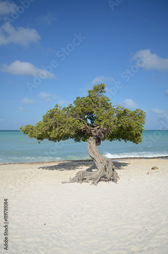 Divi Divi Tree on Beach in Aruba фототапет