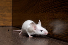 White Mouse Sits On The Floor....