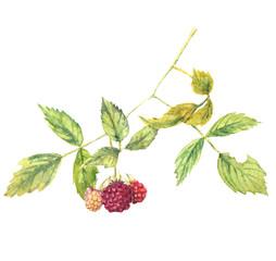 Fototapeta samoprzylepna A branch of raspberry - realistic watercolor painting. Isolated on white background.