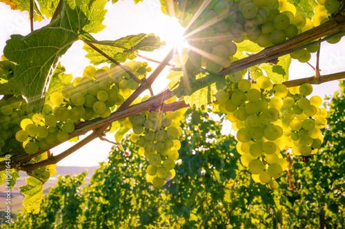 Fotografía  Herbstsonne im Weinberg