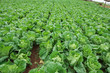 Fresh Growing cabbage field