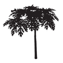 Single Plant Leaf Silhouette, Papaya Tree Isolated On White Background, One Wood Shadow Path