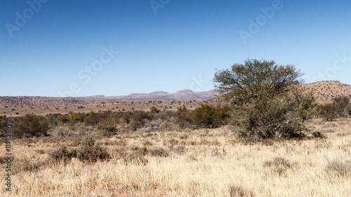 Spoed Foto op Canvas Verenigde Staten The Tree - Mountain Zebra National Park