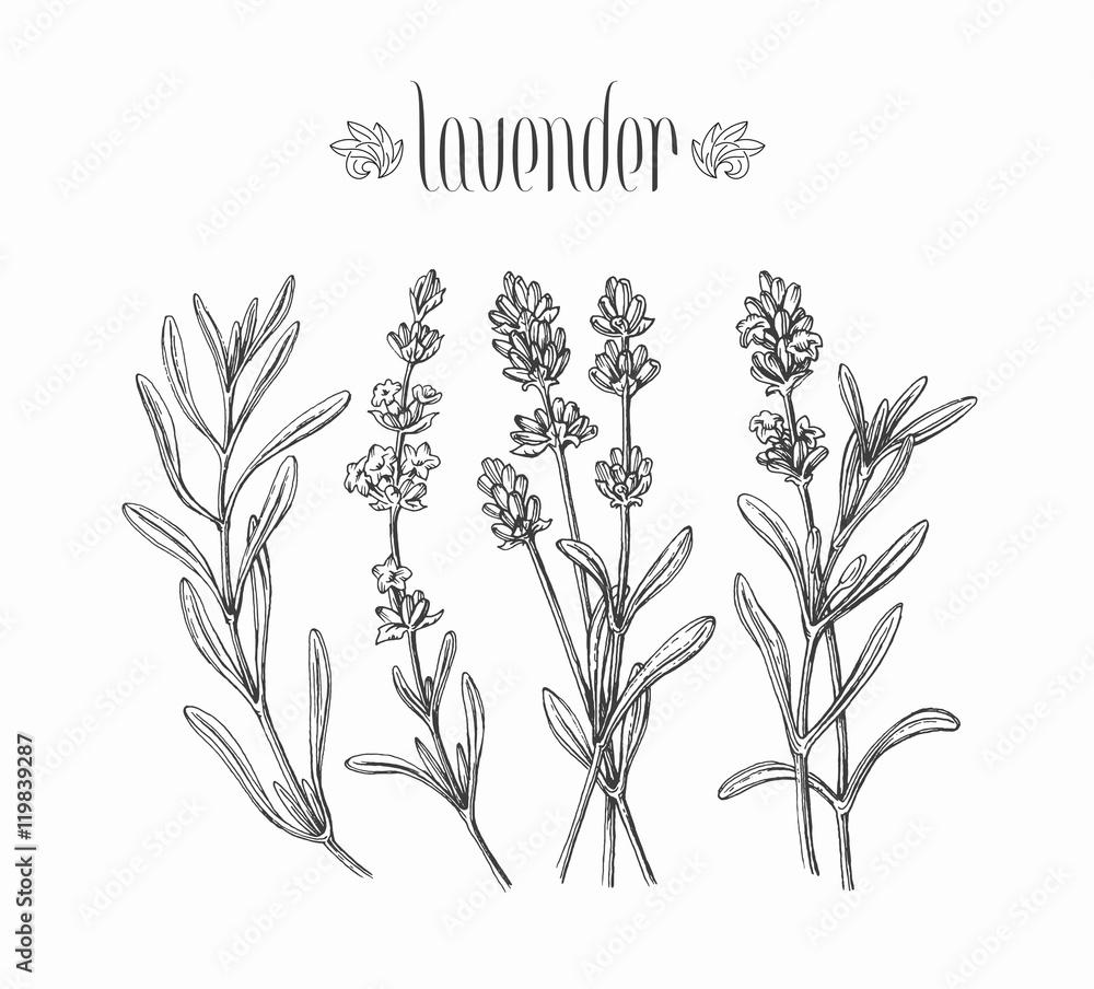 Fototapety, obrazy: Black isolated lavender branches