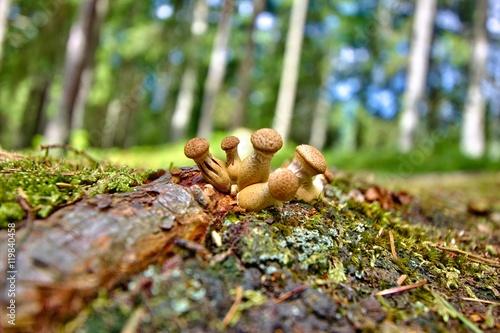 Fotografie, Obraz  Macro of Lycoperdon mushrooms
