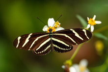 Zebra Longwing Butterfly (Heliconius Charithonia)