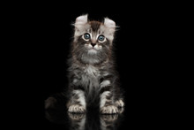 Cute American Curl Kitten With Twisted Ears Sits On Isolated Black Background