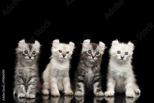 Canvas Prints Four Cute American Curl Kittens with Twisted Ears, Blue eyes, Sitting and Looking Curious, Isolated Black Background, Front view