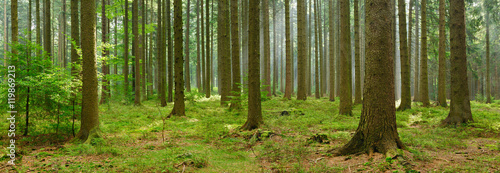 Fotobehang Bossen Spruce Tree Forest, Sunbeams through Fog, Creating a Mystic Atmosphere