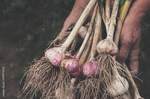 Organic garlic gathered at ecological farm in farmer's hands