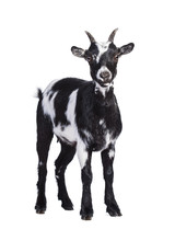Little Dwarf Black And White Goat Isolated On White