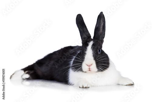 Dwarf rabbit lying isolated on white